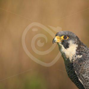 Peregrine falcon portrait - Nature Stock Photo Agency