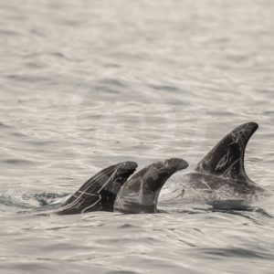 Small group of Risso's dolphins - Nature Stock Photo Agency