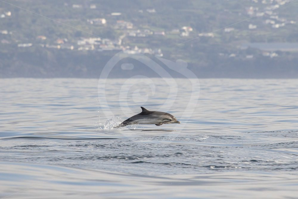 Striped dolphin on the run in front of Pico - Nature Stock Photo Agency
