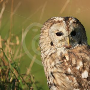 Tawny owl portrait in the field - Nature Stock Photo Agency