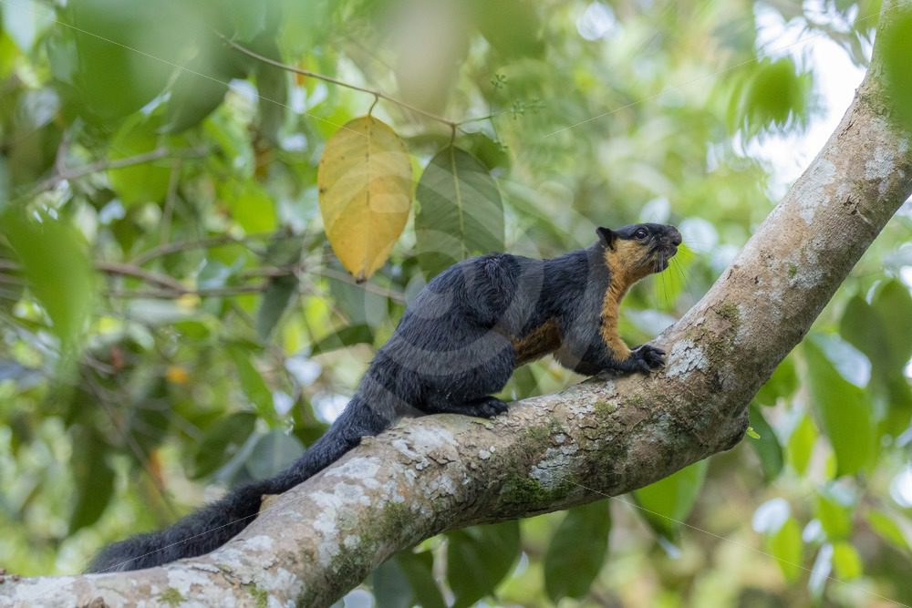 Asian black giant squirrel running in the canopy - Nature Stock Photo Agency