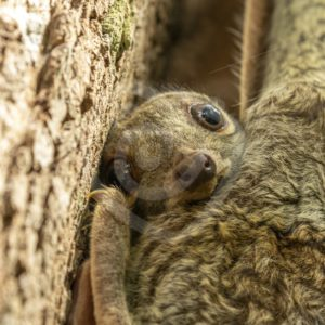 Baby colugo peeking from mothers protection - Nature Stock Photo Agency