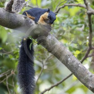 Black giant squirrel eating in the trees - Nature Stock Photo Agency