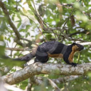 Black giant squirrel walking in the canopy - Nature Stock Photo Agency