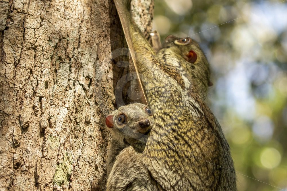 Close up of young colugo with its mother - Nature Stock Photo Agency