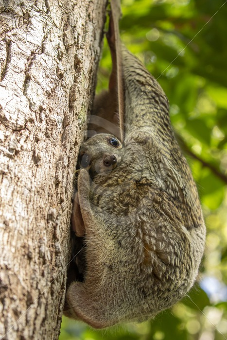 Colugo baby having a look - Nature Stock Photo Agency