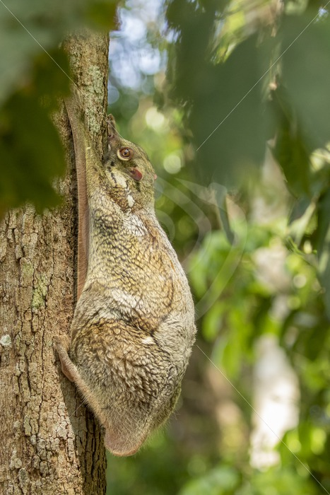 Colugo hanging on its favorite tree during the day - Nature Stock Photo Agency