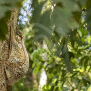 Colugo hiding its baby while hanging on a tree - Nature Stock Photo Agency