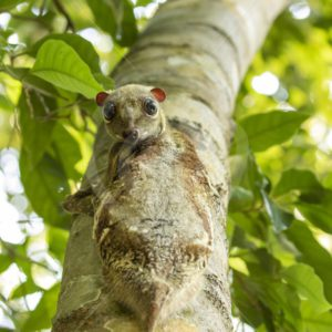 Colugo looking down - Nature Stock Photo Agency