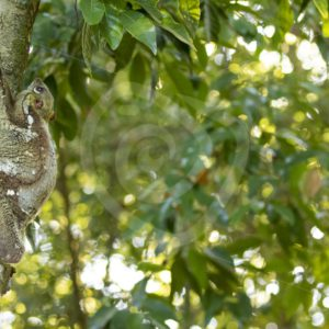 Colugo on a tree trunk - Nature Stock Photo Agency