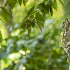Colugo resting during the day in its favorite tree - Nature Stock Photo Agency