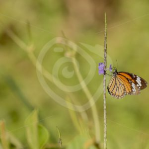 Common Asian tiger butterfly catching some sun - Nature Stock Photo Agency