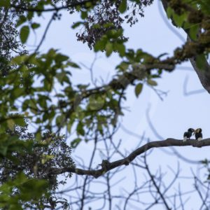 Couple of wreathed hornbills in their habitat - Nature Stock Photo Agency
