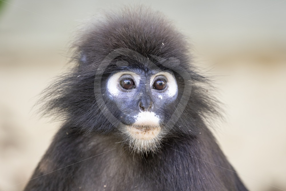 Dusky Leaf monkey portrait - Nature Stock Photo Agency