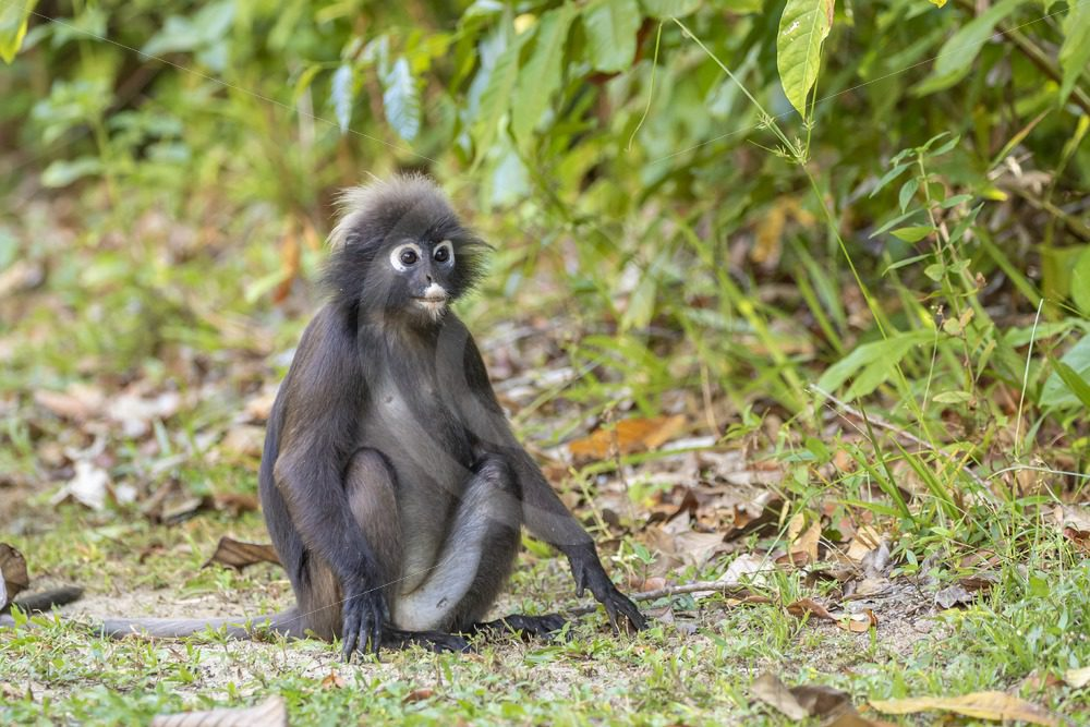 Dusky Leaf monkey sitting on the ground - Nature Stock Photo Agency