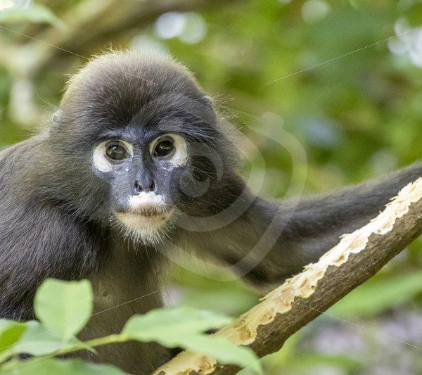 Dusky leaf monkey eating bark - Nature Stock Photo Agency