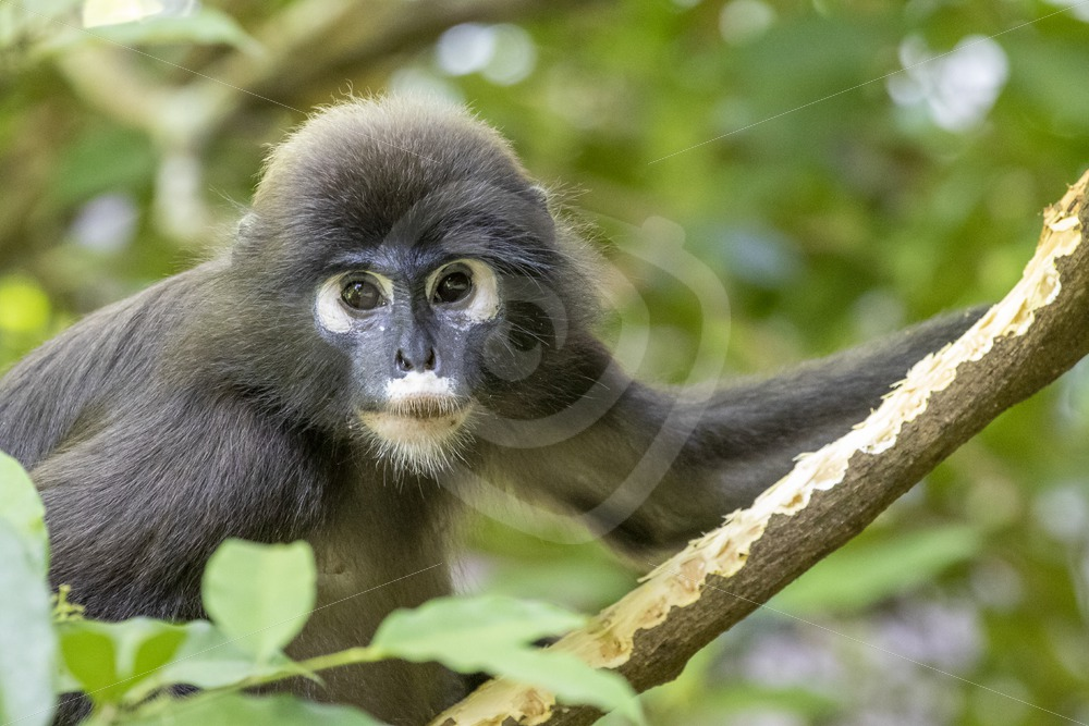 Dusky leaf monkey eating bark - Nature Stock Photo Agency