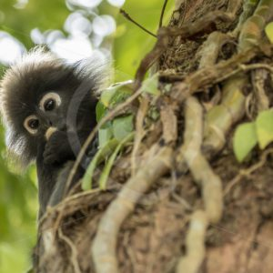 Dusky leaf monkey looking from behind a tree trunk - Nature Stock Photo Agency