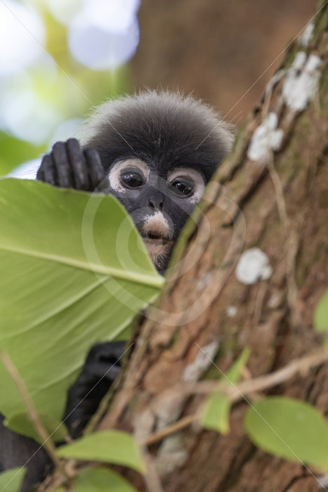 Dusky leaf monkey peeking from behind some leaves - Nature Stock Photo Agency