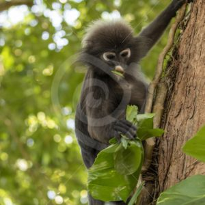 Dusky leaf monkey picking some leaves to eat - Nature Stock Photo Agency