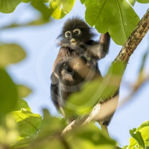 Dusky leaf monkey sitting in the top of a tree - Nature Stock Photo Agency