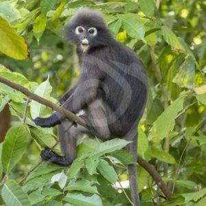 Dusky leaf monkey sitting in the tree - Nature Stock Photo Agency