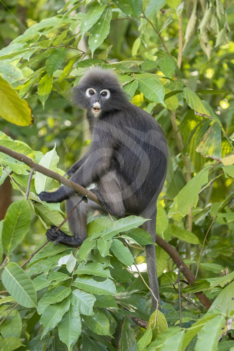 Dusky leaf monkey sitting in the tree - Nature Stock Photo Agency