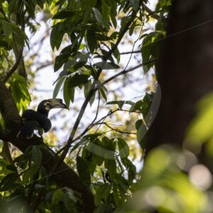 Female oriental-pied hornbill in a forest habitat - Nature Stock Photo Agency