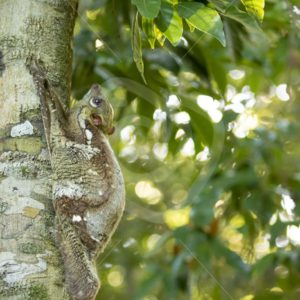 Flying lemur hanging in a tree trunk - Nature Stock Photo Agency