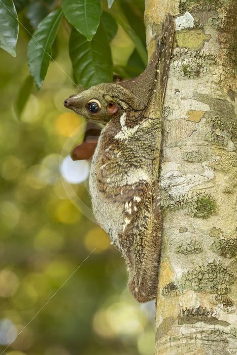 Flying lemur hanging with its head backwards - Nature Stock Photo Agency