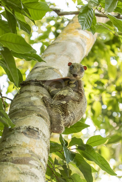 Flying lemur making eye contact from above - Nature Stock Photo Agency