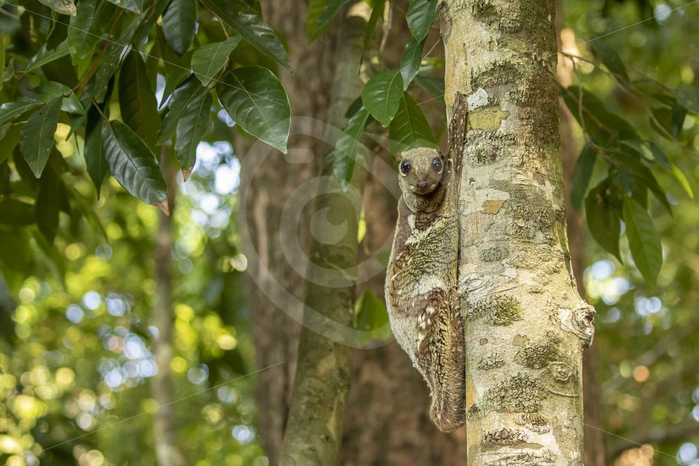 Flying lemur relaxing on his preferred tree - Nature Stock Photo Agency