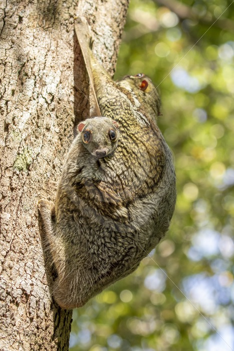 Flying lemur with a baby peeking out - Nature Stock Photo Agency