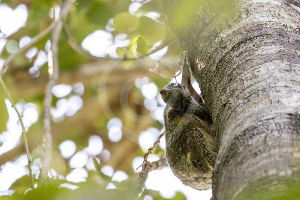 Flying lemur with youngster hanging out of the belly - Nature Stock Photo Agency
