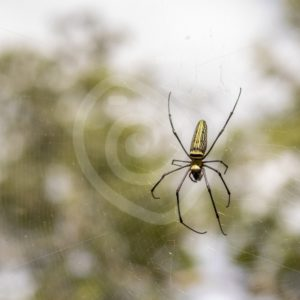Golden orb spider in her web - Nature Stock Photo Agency