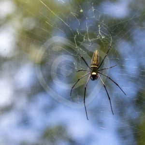 Golden orb spider in its web with sky behind - Nature Stock Photo Agency