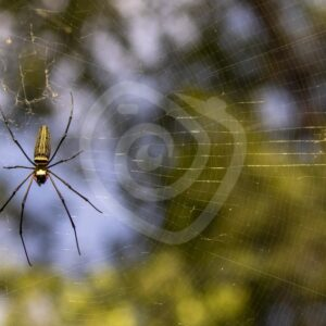 Golden orb spider on the island of Langkawi - Nature Stock Photo Agency