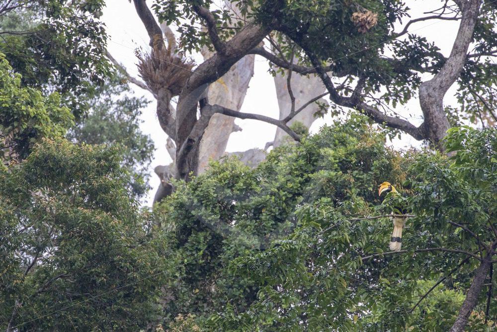 Great Hornbill in its habitat - Nature Stock Photo Agency