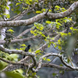 Greater racket-tailed drongo in the forest - Nature Stock Photo Agency