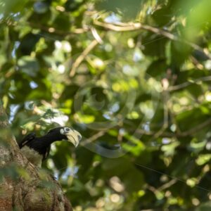 Hornbill looking over the tree - Nature Stock Photo Agency