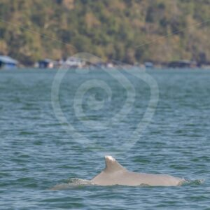 Indo Pacific Humback dolphin swimming near the fishermen villages - Nature Stock Photo Agency