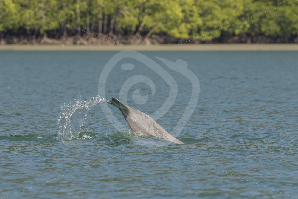Indo Pacific Humback dolphin taking a dive - Nature Stock Photo Agency
