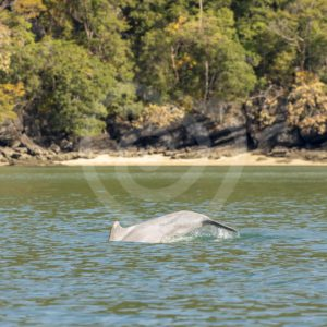 Indo-Pacific humpback dolphin diving near the shore - Nature Stock Photo Agency