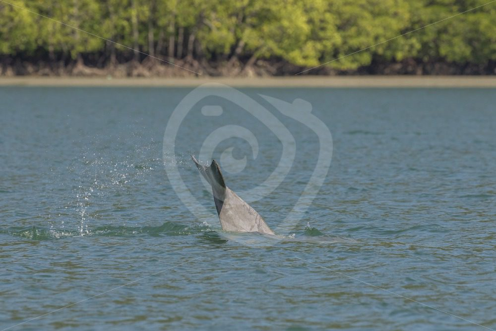 Indo Pacific humpback dolphin fluke - Nature Stock Photo Agency
