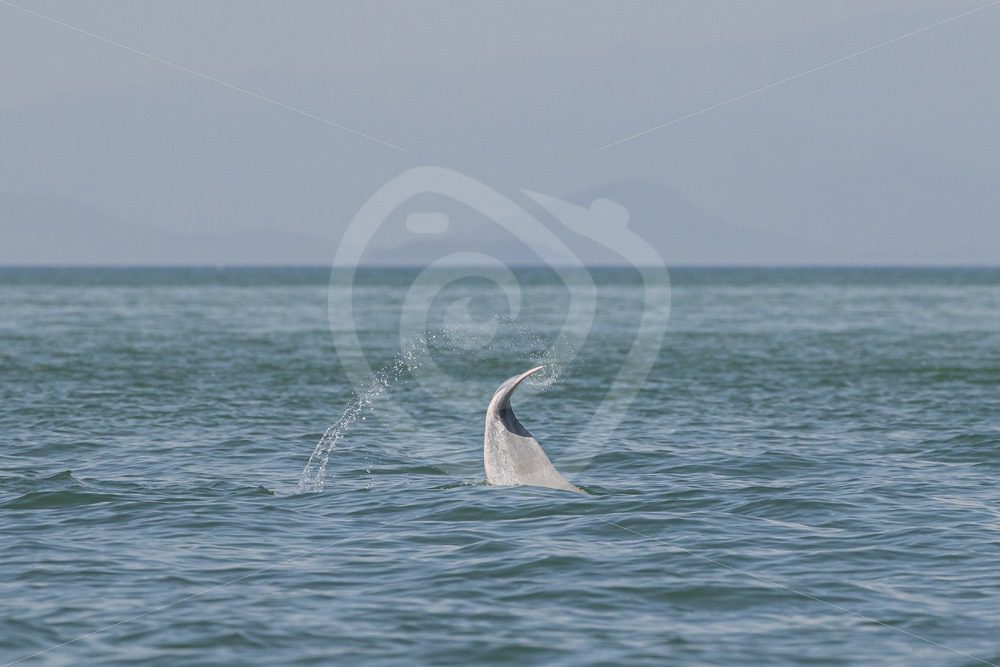 Indo Pacific humpback dolphin tailslap - Nature Stock Photo Agency