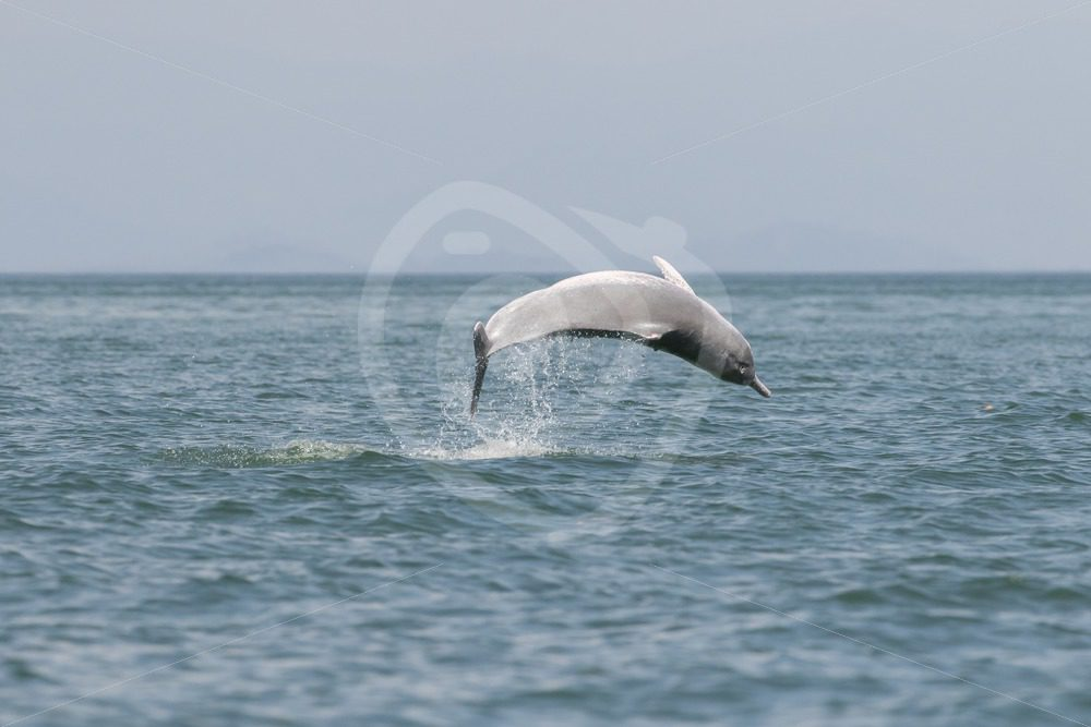 Indo-pacific humpback dolphin breaching - Nature Stock Photo Agency