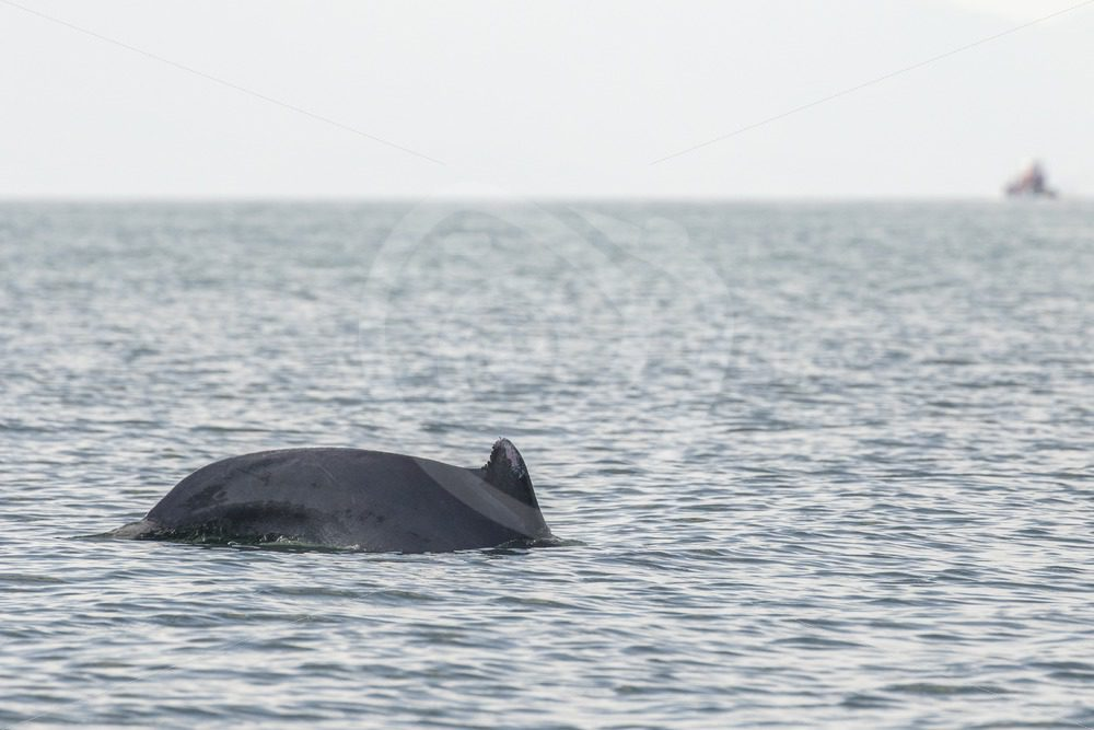 Indo-pacific humpback dolphin passing by the boat - Nature Stock Photo Agency
