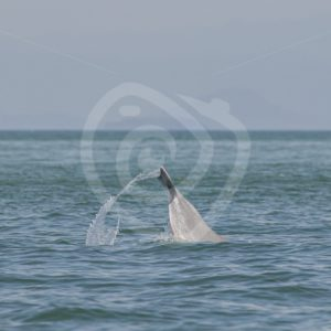 Info Pacific Humpback dolphin tail slapping - Nature Stock Photo Agency