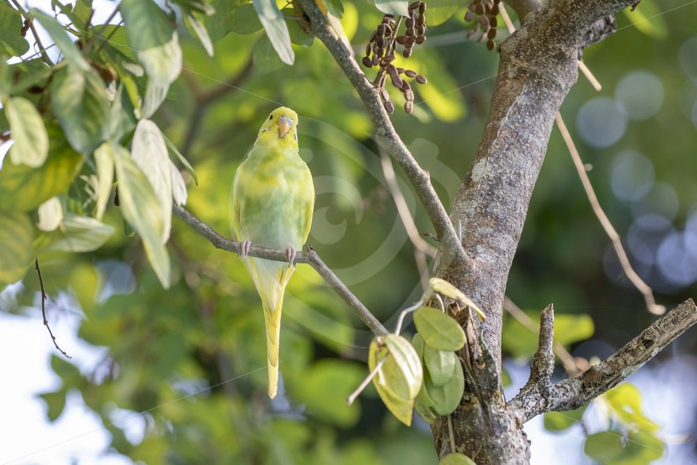 Juvenile (escaped) budgerigar in the forest - Nature Stock Photo Agency