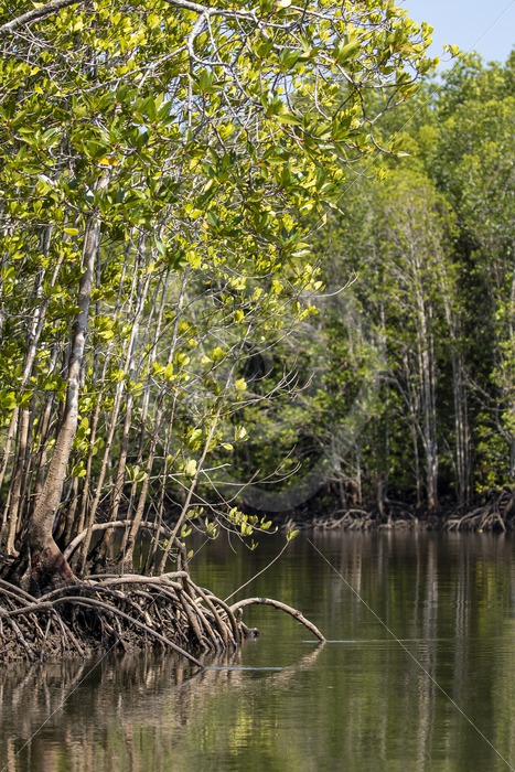Kilim Geoforest mangroves in Malaysia - Nature Stock Photo Agency